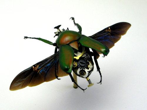 Beetle Dicra