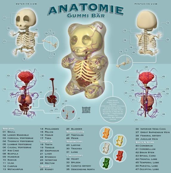 gummy bear anatomy design image