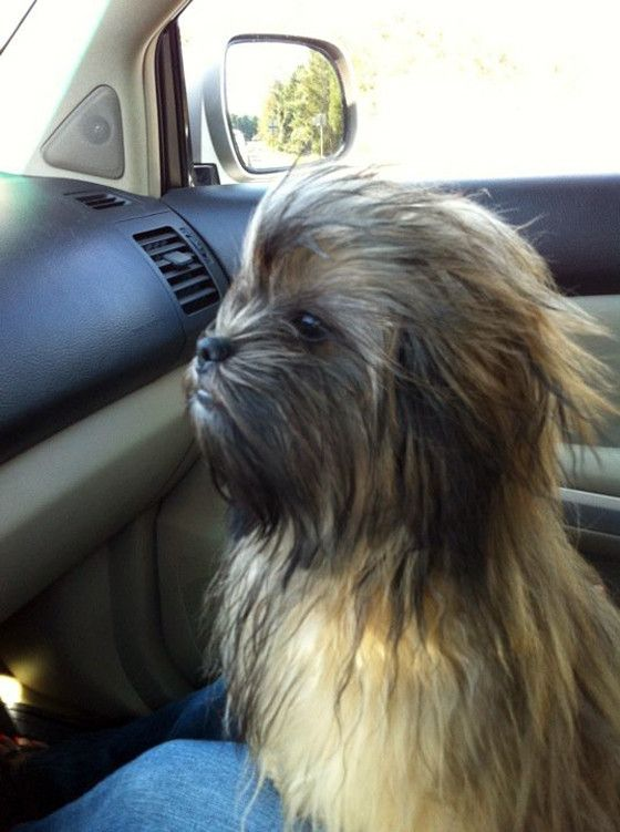 star wars chewbacca riding shotgun